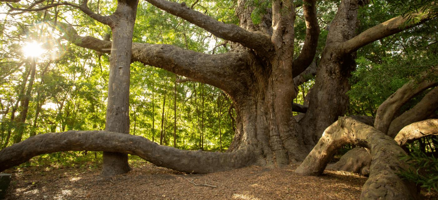 A tree at Vergelegen