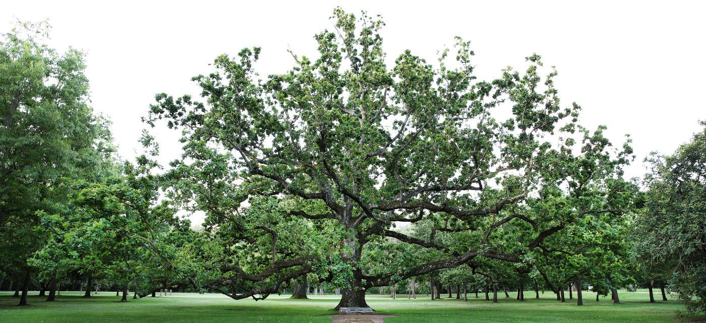 Royal Oak tree at Vergelegen