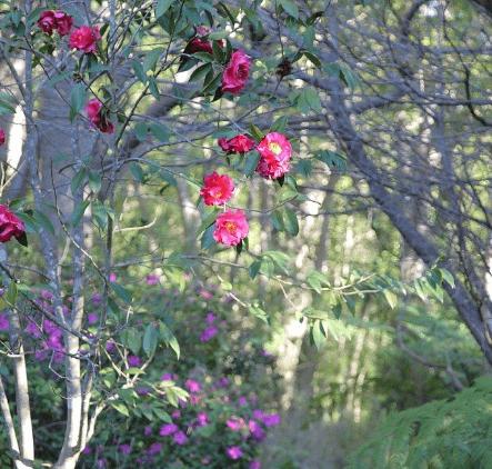 Vergelegen Camelia Garden