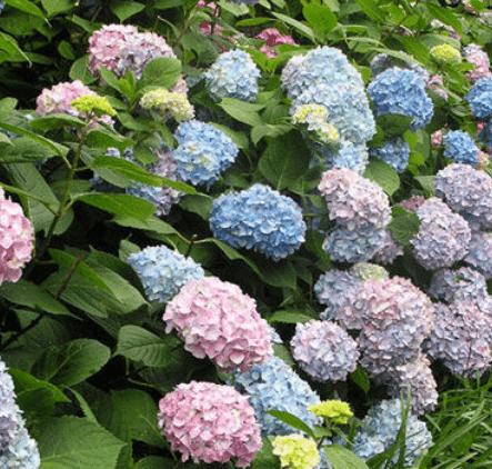 Vergelegen Hydrangea Garden
